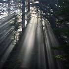 Sun Rays Crossing a Misty Coastal Forest by MindyLinford