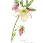 Helleborus sp. by Cheryl Hodges