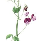 Sweet pea by Cheryl Hodges