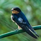 Evening Swallow by Jon Rista