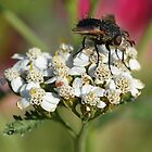 Thirsty Fly and Pink Aphid by TheBluePlanet