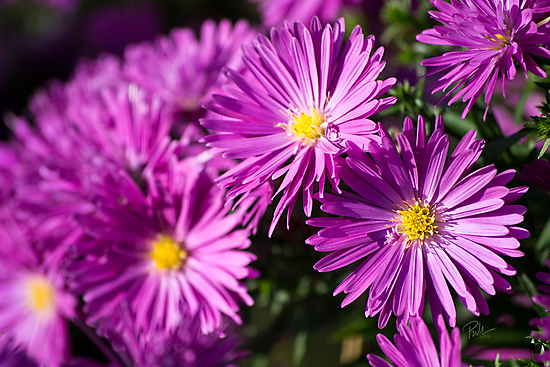 Michaelmas Daisy by Paul-M-W