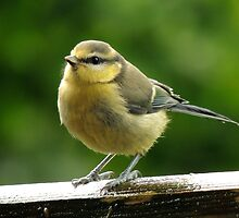 Blue tit 14 by Magic-Moments