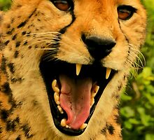 Cheetah growl by AntonAlberts