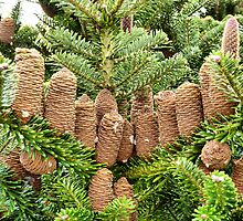 Fir Cones.  by Lilian Marshall