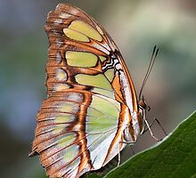 Malachite Butterfly by Stacey  Purkiss