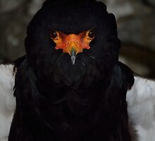 BATTY THE BATELEUR EAGLE by marjack