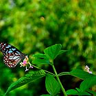 Blue tiger- The butterfly by Spacehunter