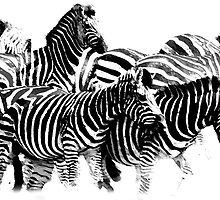 Zebra by Joe Stallard