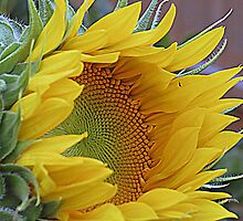 Sunflower Awakening by kkphoto1