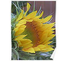 Sunflower Awakening Poster