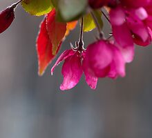 Hanging Pink Blossoms At Victoria College by Gary Chapple