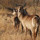 Family of waterbucks by gogston