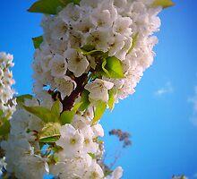 Cherry Blossom by Sean Reardon