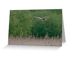 Marsh Harrier--male Greeting Card