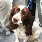 Daisy, Welsh Springer Spaniel by Ross Sharp