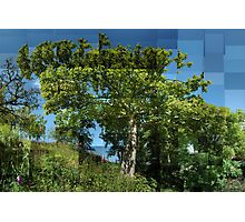 Sycamore in Summer Photographic Print