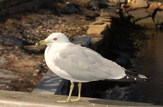 Ring-beaked Gull, Fall River, Massachusetts by Ross Sharp