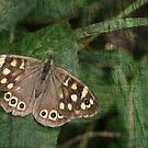 Speckled Wood Butterfly by Mieke Vleeracker