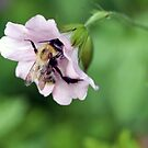 Busy Bee by Astrid Ewing Photography