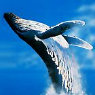 Humpback whale (Megaptera novaeangliae) (Whale play) by Terry Bailey