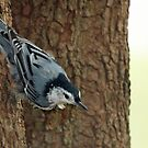 Molting Nuthatch by Bine