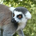 Ring tailed Lemur by Dawnsky2