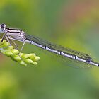 Common blue female damselfly and lunch by Stacey  Purkiss