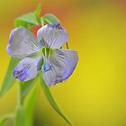 Cornflower by relayer51