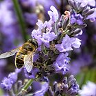 Bee On The Lavender by lynn carter