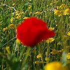 The Lone Poppy, Rome 2012 by ArleneMartine