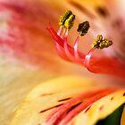 Alstroemeria by Colin Bester