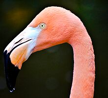 Flamingos by pcfyi