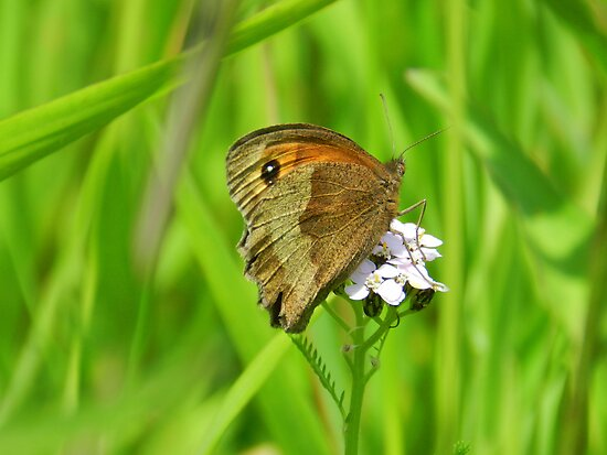 Meadow brown butterfly by weecritter