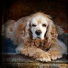 Whiskey, Orange Roan Cocker Spaniel by Jay Taylor
