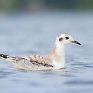 Low Angle Bonaparte's Gull. by Daniel Cadieux