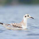 Low Angle Bonaparte's Gull. by Daniel Cadieux