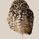 Little Owl by Matthew Bates