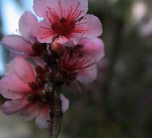 Apple Blossom Time by myraj