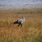 Secretary bird. by Karue