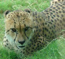 """Cheetah""  by Carter L. Shepard by echoesofheaven"