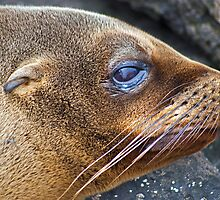 Sea Lions6 by bulljup