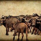 IN ABUNDANCE -  The Buffalo - Syncerus caffer  by Magaret Meintjes