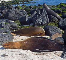 Sea Lions15 by bulljup