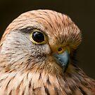 Merlin (Falco columbarius) by Steve  Liptrot