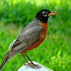 Hello Mr. Robin!    ^ by ctheworld