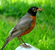 Hello Mr. Robin! by ctheworld