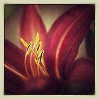 Hemerocallis Flower by hinomaru