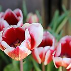 *Red and White Tulips* by DeeZ (D L Honeycutt)
