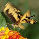 Butterfly in flight by Neutro